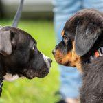 Chiot et chien adulte