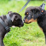 Chiot Rottweiler fait des bisous a un congénère