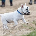 Terrier en balade canine