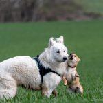 Berger blanc suisse et shiba inu