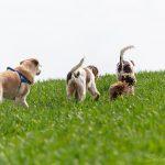 chiens de dos courant dans l'herbe