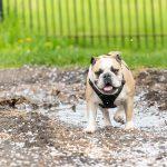 Bulldog anglais sort d'une flaque d'eau
