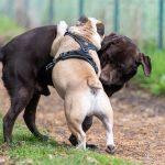 Labrador joue avec un bulldog anglais