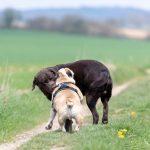 Bulldog anglais et labrador