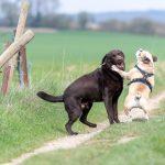 Labrador et bulldog anglais qui jouent