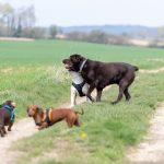 Plusieurs chiens en balade canine