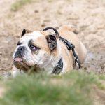 Bulldog anglais joue dans la boue
