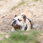 bulldog anglais dans la boue