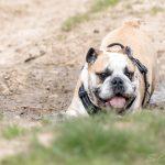 bulldog anglais sort de la boue