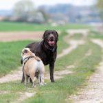 labrador et bulldog anglais