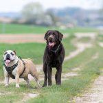 Labrador et bulldog anglais dans l'herbe