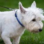 West Highland white terrier en laisse
