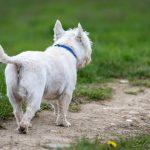 West Highland White terrier se promène