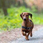 Jack Russel en balade canine