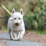 West Highite terrier en balade canine