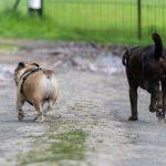 Labrador et bulldog anglais qui se promènent