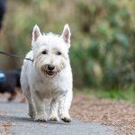 West Highland White terrier et un chiot