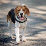 Beagle content