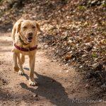 Labrador dans les feuille d'automne