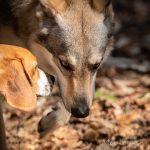 Beagle saluant un chien-loup