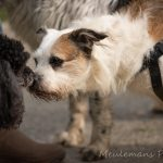 Bichon Havanais disant bonjour au caniche