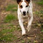 Jack Russel courant