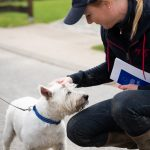 West highland white terrier qu I se fait caresser