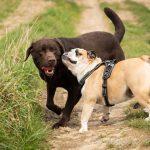Bulldog anglais joue avec un labrador