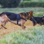 Berger Allemand et chien loup libre en balade