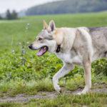 Chien loup en balade canine