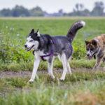 Husky et chien en promenade dans un champ