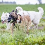 groupe de chiens en promenade