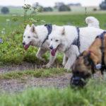 Trois chiens se promènent ensemble