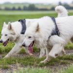 Deux bergers blancs suisse en promenade