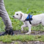 Bichon en balade canine Julie Willems