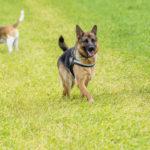 Berger Allemand et Beagle en balade