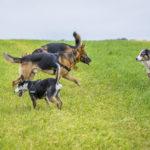 Groupe de chiens se baladent ensemble