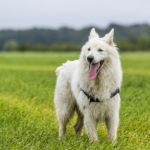 berger blanc suisse balade canine animal behaviour