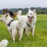 deux bergers blanc suisse en balade
