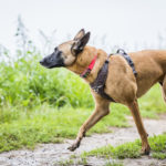 Malinois en balade canine Animal Behaviour