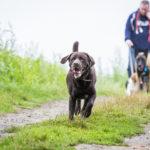 Labrador en promenade