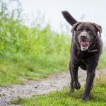 Labrador qui se promène