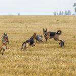 Six chiens jouent ensemble dans un champ