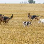 Cinq chiens courent ensemble dans un champ