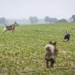 Quatre chiens courent dans un champ