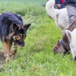 chiens qui mangent de l'herbe en promenade