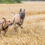 Amstaff et malinois courent ensemble