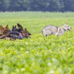 Les chiens courent ensemble dans un champ