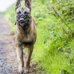 malinois en balade canine