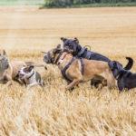 Cinq chiens jouent ensemble dans les champs